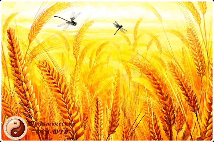 пшеница колосья